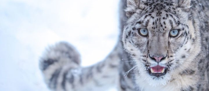 Osama-Muhammad-Snow-Leopard-Naltar-featured-828x360
